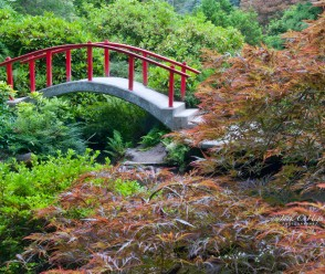 Red Bridge and Weeping Maple